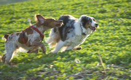 Happy dogs. Two dogs run alongside each other, playing in the fields stock photos