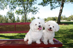 Happy Dogs. Smiling, happy, playful little curly Bichon Frise dogs having fun outdoors posing on a bench at the park on a nice sunny day Stock Image