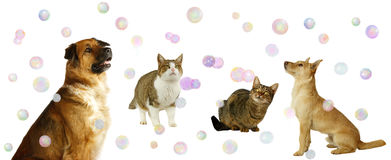 Happy Dogs and Cats with Bubbles. On white background stock photos