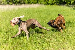 Free Happy Dogs Having Fun In A Meadow. Weimaraner And Sheepdog Are Running On A Green Field. Healthy And Happy Dogs Royalty Free Stock Photography - 183328327