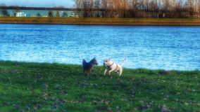 Happy dogs. Playing togheter on grass, with blue water trees on the background Stock Images