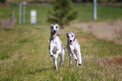 Happy dogs running Stock Photos