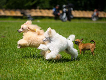 Happy dogs running in the meadow stock photos