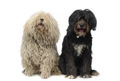 2 happy dogs sitting in a white studio. 2 happy dogs in studio Royalty Free Stock Image