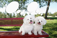 Happy Dogs With Thoughts. Cartoon thought or speech bubbles with two smiling, happy, playful little curly Bichon Frise dogs having fun outdoors posing on a bench Stock Images