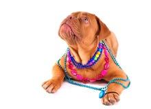 Happy Dogue De Boreaux Foto de archivo