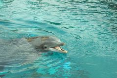 Happy dolphin. Dolphin with a smile on his face Royalty Free Stock Photo