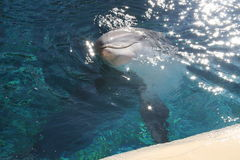 Happy Dolphin. Dolphin swimming to the suface Stock Images