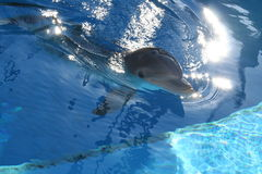 Happy Dolphin. Dolphin swimming to the suface stock image