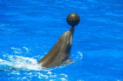 Happy dolphin with ball in the water. Happy dolphin with ball on the nose in the water royalty free stock images