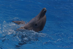 Happy dolphin. Close up of dolphin in blue water royalty free stock photos
