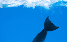 Happy dolphin in dolphinarium under the blue water. Deep deep stock photography
