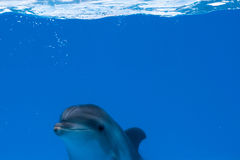 Happy dolphin in dolphinarium under the blue water. Deep smiling stock image