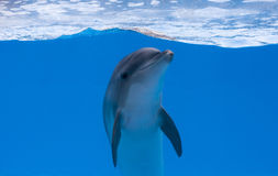 Happy dolphin in dolphinarium under the blue water. Floating stock image