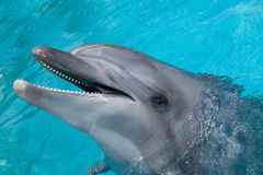 Happy Dolphin Smiling in the Blue Water Royalty Free Stock Images