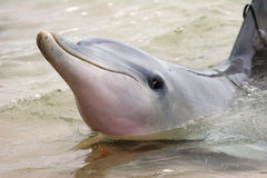 Happy Dolphin of Tursiops species. At Monkey Mia, Western Australia Stock Photos