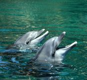 Happy dolphins Royalty Free Stock Images