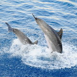 Happy dolphins jumping in the water Royalty Free Stock Image