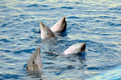 Happy dolphins in the water Royalty Free Stock Photo