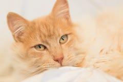 Happy domestic cat Stock Photography