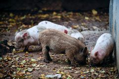 Happy domestic piglets and pigs play and have fun in the open. The concept of ecological and organic food on a pig farm in the vil. Lage Royalty Free Stock Photography