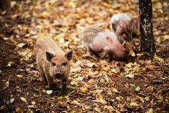 Happy domestic piglets and pigs play and have fun in the open. The concept of ecological and organic food on a pig farm in the vil. Lage Stock Photography