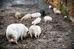 Happy domestic piglets and pigs play and have fun in the open. The concept of ecological and organic food on a pig farm in the vil. Lage Royalty Free Stock Images