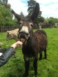 Happy Donkey. A donkey with big ears, smiling as its being fed, showing lots of teeth in a field Stock Images