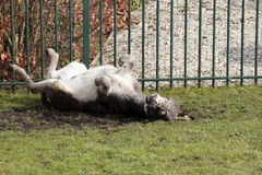 Happy donkey rolls over the grass Royalty Free Stock Photography
