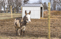 Happy Donkey. A vary happy to be alive donkey Stock Images