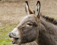 Happy Donkey. In wildpark Forest Bayern Germany Royalty Free Stock Photography