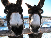 Happy Donkeys Stock Photography