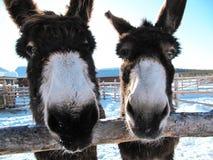 Happy Donkeys stock photography