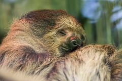 Happy dream. Soft dreamy image of cute sloth animal sleeping. Happy dream. Soft focus dreamy image of cute sloth sleeping Funny animal meme image, Linnes two royalty free stock photos