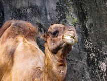 A Happy Dromedary. Dromedary with a happy face at the front of a rock background Royalty Free Stock Images