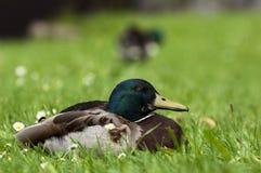Happy Duck in between Daisies Royalty Free Stock Image