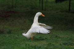 A happy duck. A white duck is flapping it's wings and showing off stock photos