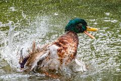 Duck taking a bath with a lot of splashing. Happy Duckmallard taking a bath with a lot of splashing Royalty Free Stock Image