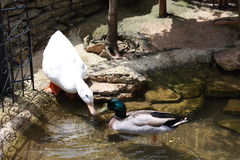 Happy ducks. Mallard duck swimming in the pond while the duck is about to join him Royalty Free Stock Photography