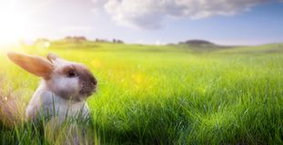 Happy Easter – Easter Bunny on sunny Flowering spring Field stock photo