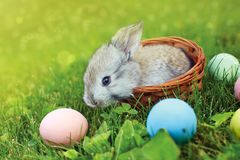 Happy Easter! Background with colorful eggs in basket. Easter bunny and Easter eggs on green grass Stock Photo