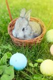 Happy Easter! Background with colorful eggs in basket. Easter bunny and Easter eggs on green grass Royalty Free Stock Photos