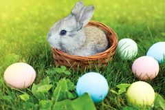 Happy Easter! Background with colorful eggs in basket. Easter bunny and Easter eggs on green grass Royalty Free Stock Photo