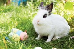 Happy Easter! Background with colorful eggs in basket. Easter bunny and Easter eggs on green grass Stock Image