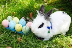 Happy Easter! Background with colorful eggs in basket. Easter bunny and Easter eggs on green grass Royalty Free Stock Images