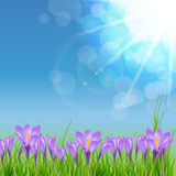 Happy Easter Card with Crocuses Vector Royalty Free Stock Photography