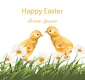 Happy Easter chickens card Vector. Chamomile field background. Illustration Stock Images