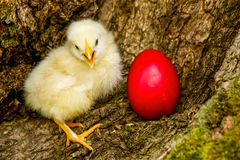 Happy Easter. Easter concept chicken with red egg Royalty Free Stock Photo