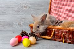 Happy Easter Day. The brown rabbit in the basket on the wooden background. Cute Easter bunny rabbit with painted Easter eggs on stock image
