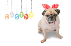 Happy Easter Day. Pug wearing rabbit Bunny ears paint eggs. Royalty Free Stock Photography
